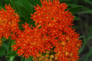 butterfly_milkweed_asclepias_tuberosa