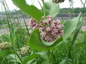milkweed_1