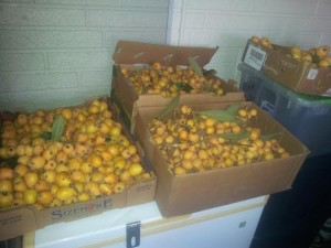 loquats harvested 1