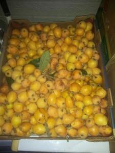loquat harvest 2 2015