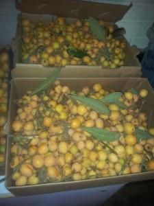 loquat harvest 2015 3