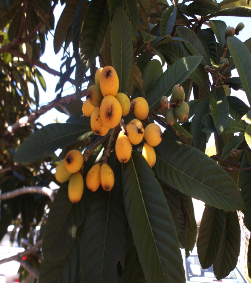 Florida Loquats Growing 2018
