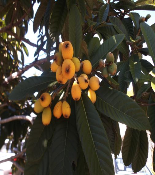 Florida Loquats Growing 2018