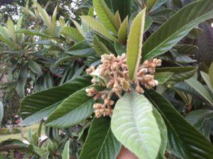 Cluster of buds at EMG